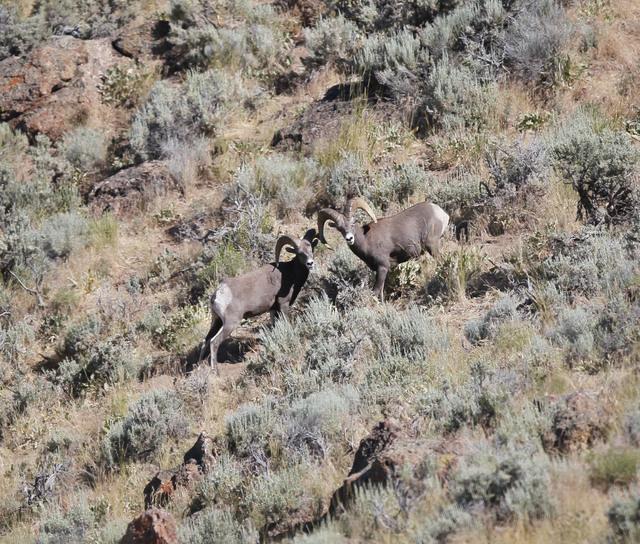 Nevada Killed Bighorn Sheep To Save Species Las Vegas
