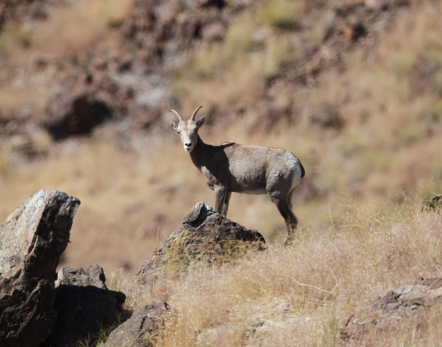 In a 2003 photo, Desert Bighorn sheep is pictured in the Granite Mountains of northern Nevada near the Oregon line. (Kim Toulouse/Nevada Department of Wildlife/Reno Gazette via AP)