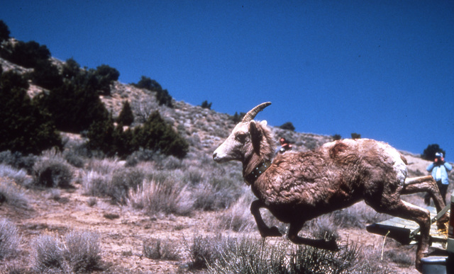 In a 2003 photo, A desert bighorn sheep is released in the Granite Mountains of northern Nevada near the Oregon line. (Kim Toulouse/Nevada Department of Wildlife/Reno Gazette via AP)