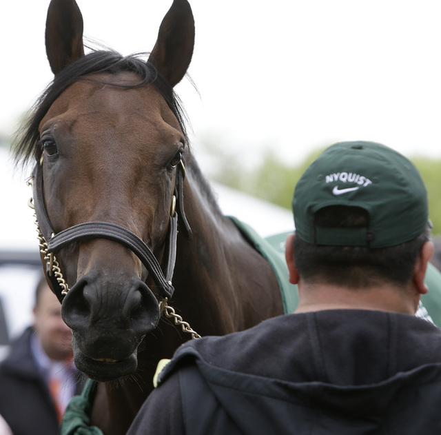 "Nyquist is attended to by hot walker Fernel ""Lefty"" Serrano, after a workout, Thursday, May 19, 2016, in Baltimore. The 141th Preakness Horse Race will be held Saturday. (AP Phot ..."
