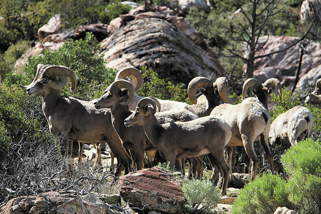 Bighorn Sheep are shown on the trail to Icebox Canyon in Red Rock Conservation Area. . (Anton/Las Vegas Review-Journal)