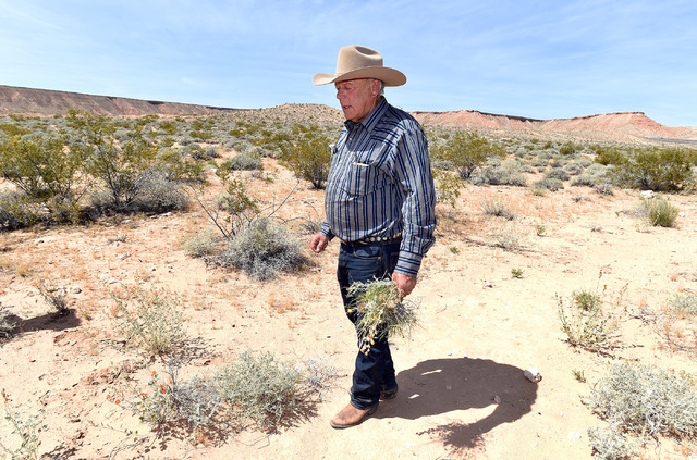 Rancher Cliven Bundy carries a bouquet of desert foliage that his cattle grazes on during an event near the Bundy Ranch in Bunkerville on Saturday, April 11, 2015. (David Becker/Las Vegas Review-J ...
