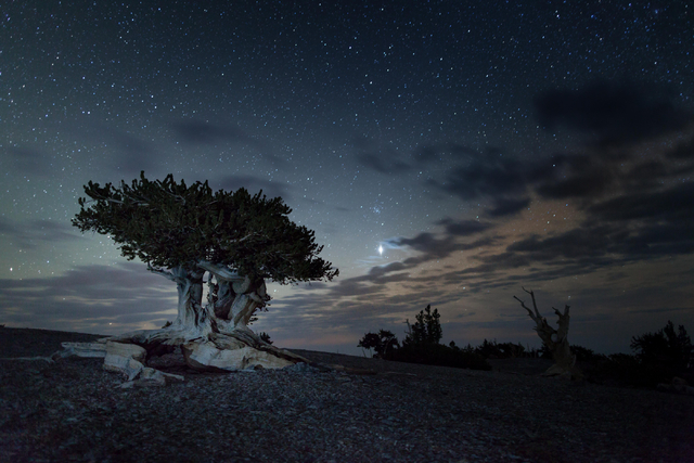 Stars fill the sky above an ancient bristlecone pine tree in this undated photo taken at Great Basin National Park, which could be home to a new research telescope as early as next summer. (Courte ...