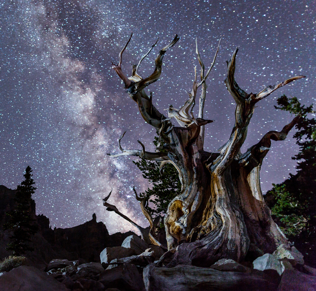 The Milky Way fills the sky above an ancient bristlecone pine tree in this undated photo taken on Mount Washington at Great Basin National Park. (Courtesy National Park Service)