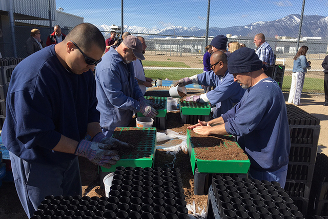 Inmates at the Northern Nevada Correctional Center prepare sagebrush seeds for planting on Tuesday, April 26, 2016. (Sean Whaley/Las Vegas Review-Journal)
