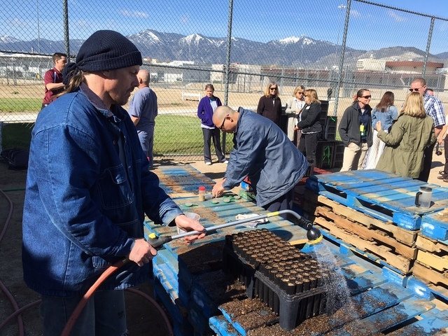 Northern Nevada Correctional Center inmate Russell Strotz waters the planted sagebrush seeds on Tuesday, April 26, 2016. The plants will remain at the prison until they are planted in the fall. (S ...