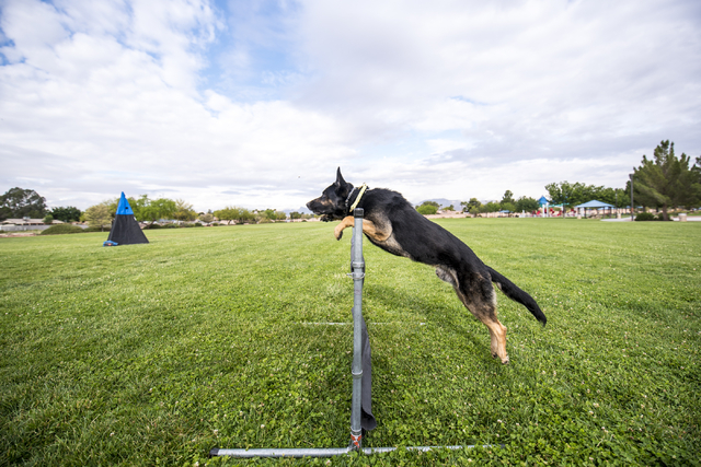 Sawyer, a dog owned by Pam Ossana, jumps over an obstacle during a Las Vegas Valley Schutzhund Club training session at Patriot Park May 7, 2016. Joshua Dahl/View