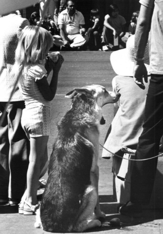 A sleepy dog is seen at the Helldorado Days parade in 1974. (Review-Journal file)