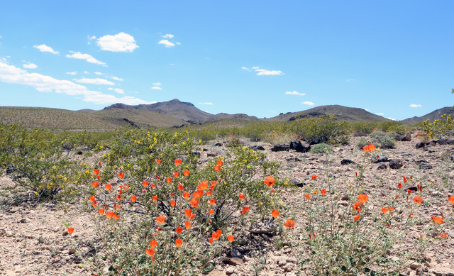 Desert Mallow flowers in bloom are seen at Sloan Canyon National Conservation Area on Thursday, May 19, 2016. The BLM Thursday dedicated the first paved access to the area and other visitor amenit ...