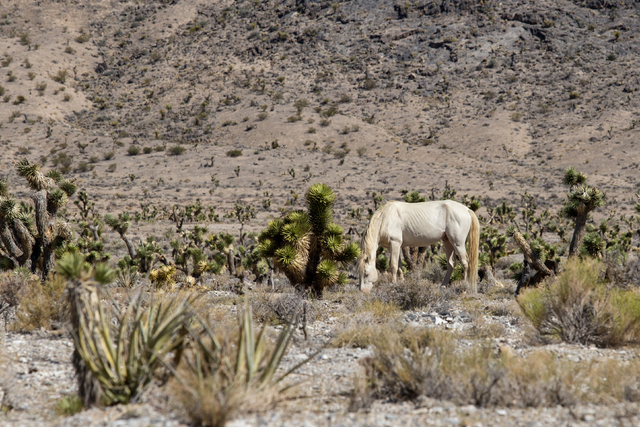 A wild horse in Nevada. (Thinkstock)