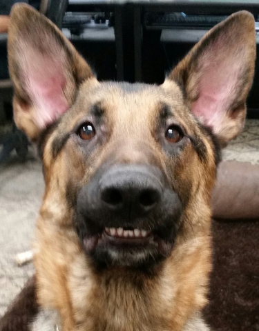 Hank, a 15-month-old German shepherd security dog in training, was taken from a van parked in front of the Thomas & Mack Center on Tuesday, May 10, 2016, but freed a short time later. Courtesy ...