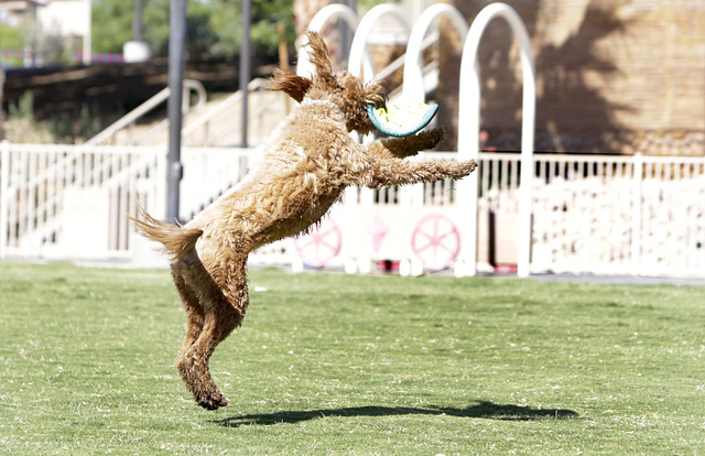 Maya jumps to catch a Flexi-Frisbee thrown by her owner Mario Garrido, not photographed, as they play at Lorenzi Park Thursday, May 13, 2016. Bizuayehu Tesfaye/Las Vegas Review-Journal Follow @biz ...