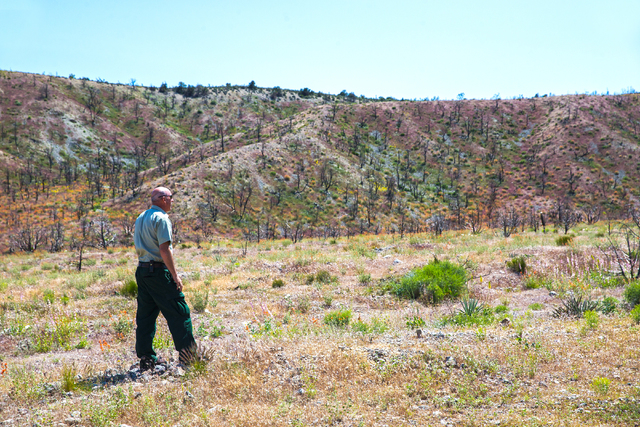 Ray Johnson, a fire prevention officer with the U.S. Forest Service, looks out at a hillside of burnt Pinyon pine trees that were scorched in the last big wild fire nearly 3 years ago, Monday, May ...