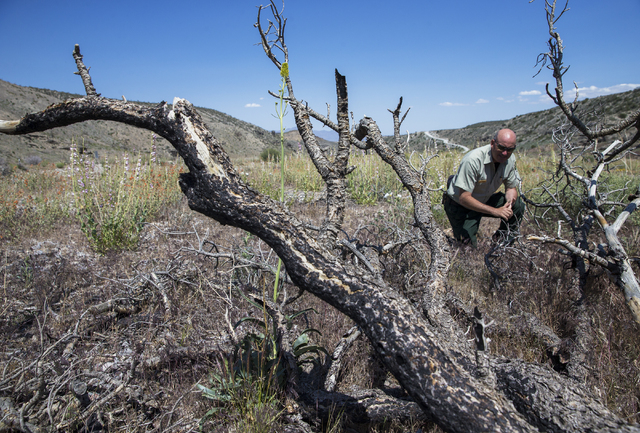 Ray Johnson, a fire prevention officer with the U.S. Forest Service, examines a Pinyon pine tree that was burnt in the last big wild fire nearly 3 years ago, Monday, May 23, 2016, in Mount Charles ...