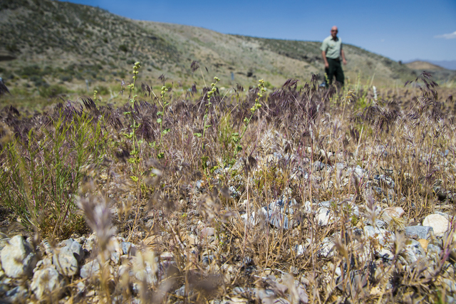 Fields of red brome grass are cause for concern for fire prevention specialists like Ray Johnson with the U.S. Forest Service, Monday, May 23, 2016, in Mount Charleston, Nevada. Benjamin Hager/Las ...