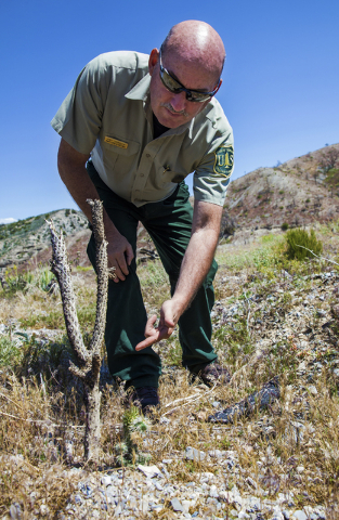 Ray Johnson, a fire prevention officer with the U.S. Forest Service, points out a young cactus that has popped up since the last big wild fire nearly 3 years ago, Monday, May 23, 2016, in Mount Ch ...