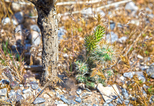 A young cactus that has started to grow since the last big wildfire nearly 3 years ago that burnt over 30,000 acres, Monday, May 23, 2016, in Mount Charleston, Nevada. Benjamin Hager/Las Vegas Rev ...