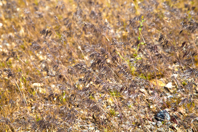 Fields of red brome grass have popped up in Southern Nevada due to an unusually moist spring, and are cause for concern for fire prevention specialists, Monday, May 23, 2016, in Mount Charleston,  ...