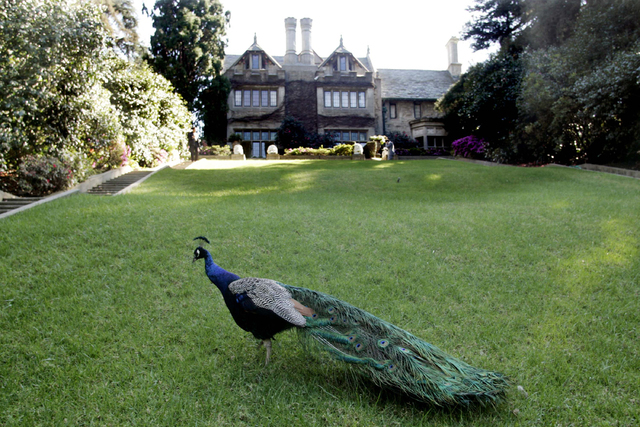 A peacock walks on the grounds of the Playboy Mansion in Los Angeles, Feb. 22, 2006. (Fred Prouser/Reuters)
