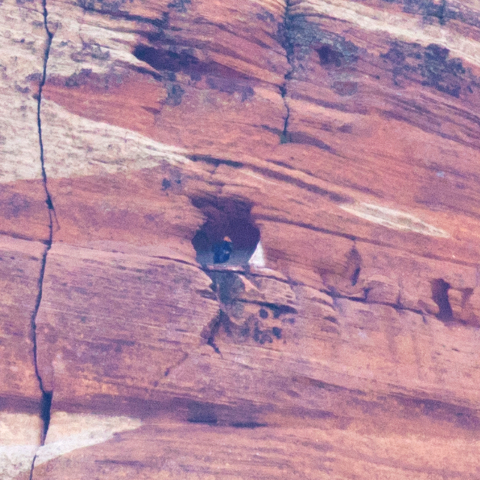 An undated photo shot by a park visitor shows a California condor sitting on its nest in a cave at Zion National Park. Biologists have confirmed that a chick has hatched in the nest, but they are  ...