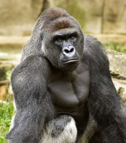 A June 20, 2015 photo provided by the Cincinnati Zoo and Botanical Garden shows Harambe, a western lowland gorilla, who was fatally shot Saturday, May 28, 2016, to protect a 4-year-old boy who had ...