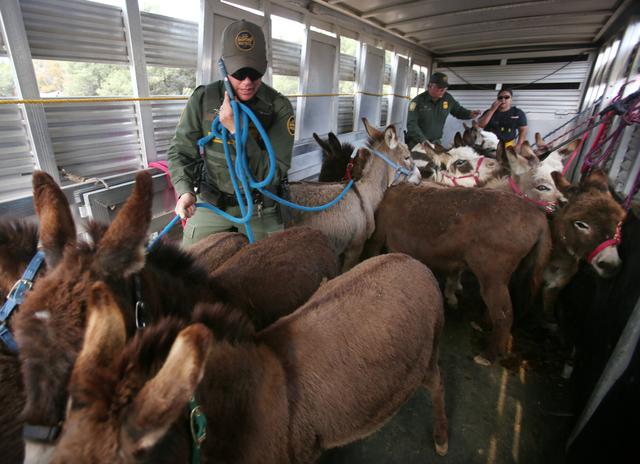 Border Patrol Agent Monica Slack tries to hold a phone conversation while herding miniature donkeys in a Border patrol trailer, assisting Kim and David Fuson near Lake Morena, Calif., with evacuat ...
