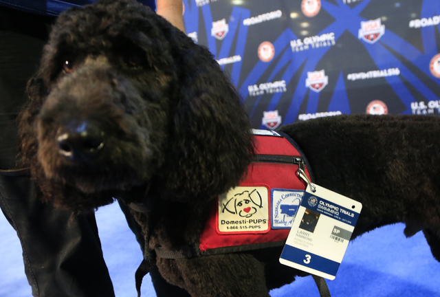 Larry, a goldendoodle, sports his own credentials while working as a therapy dog at the U.S. Olympic swimming trials in Omaha, Neb., Wednesday, June 29, 2016. (Orlin Wagner/AP)