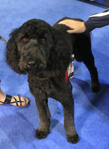 Larry, a goldendoodle, works as a therapy dog at the U.S. Olympic swimming trials in Omaha, Neb., Wednesday, June 29, 2016. In a section of the arena that is generally off-limits to everyone excep ...