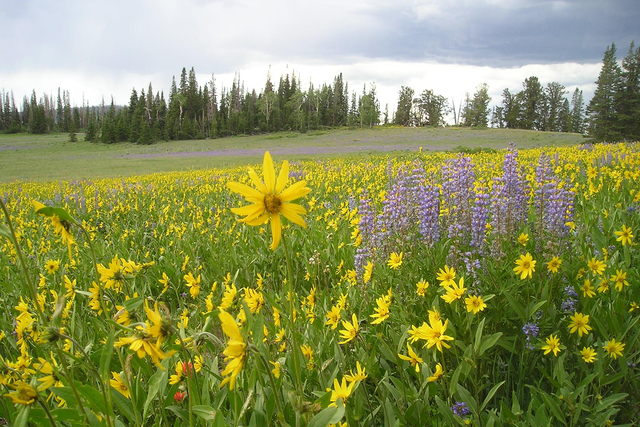 The annual Cedar Breaks Wildflower Festival runs from July 2 to 17. (Cedar City/Brian Head Tourism Bureau)