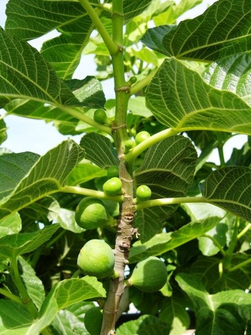 COURTESY Fig trees that produce fruit need a lot of water so that the fruit will enlarge.