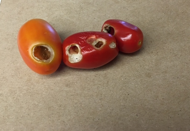 COURTESY Fruit worms eat holes mostly in tomatoes, usually when they are green or when they turn red but are still hard or firm.