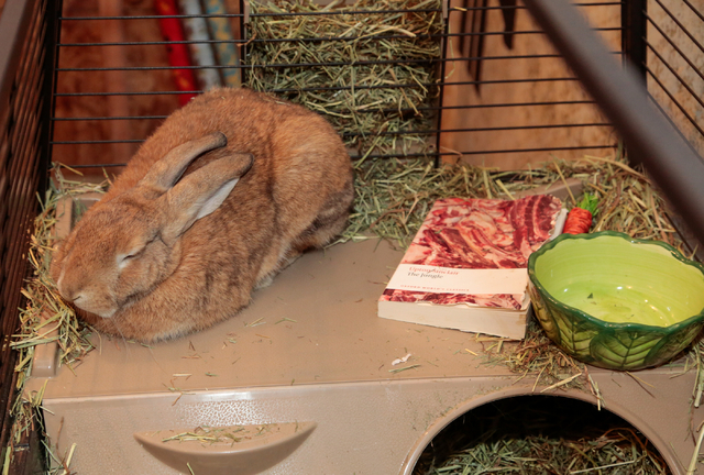 "Local resident rabbit ""The Baron"" sits in a cage, inside the book shop at 1020 Fremont St., The Writer's Block, Las Vegas, Saturday, Jan. 1, 2015. (Donavon Lockett/Las Vegas Review-Journal)"