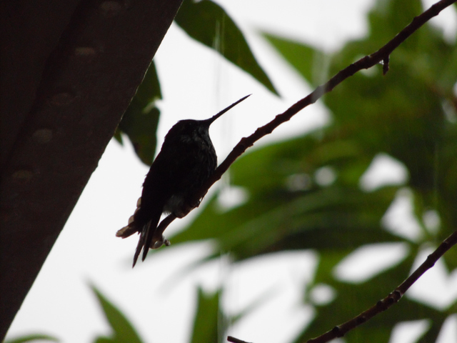 A hummingbird rides out the storm on Brockton Way in Henderson Thursday, June 30, 2015. Natalie Burt/Special to the Las Vegas Review-Journal