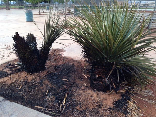 Burnt nearby vegetation is seen as a result of a recent act of vandalism at Mountain Ridge Skate Park, 7151 Oso Blanca Road. Special to View