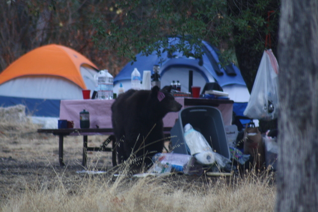 A black bear knocks over trash containers at the Potwisha campground in the Sequoia National Park. In 2015, seven bears were destroyed at the park for becoming too habituated to humans and their s ...