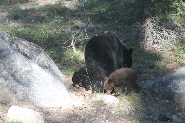 A black bear and her two cubs work their way through the forest near the Lodgepole campground at the Sequoia National Park in California. The park estimates that hundreds of bears live int he regi ...