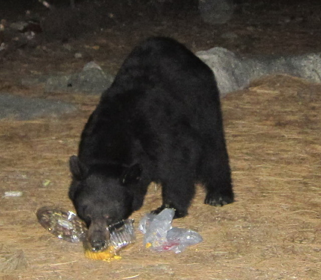 A black bear uses its nose to tear open a plastic snack platter at the Sequoia National Park. Many bears chose to forage at night, when there is less chance of human confrontation. L-13 did her mi ...