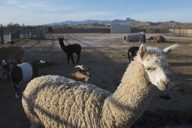 Miles the alpaca, front, roams his enclosure with other animals at Roos-N-More in Moapa, Nev., on Thursday, June 2, 2016. Bridget Bennett/Las Vegas Review-Journal Follow @bridgetkbennett