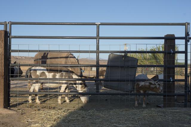 A goat sticks its head through the fence at Roos-N-More in Moapa, Nev., on Thursday, June 2, 2016. Bridget Bennett/Las Vegas Review-Journal Follow @bridgetkbennett