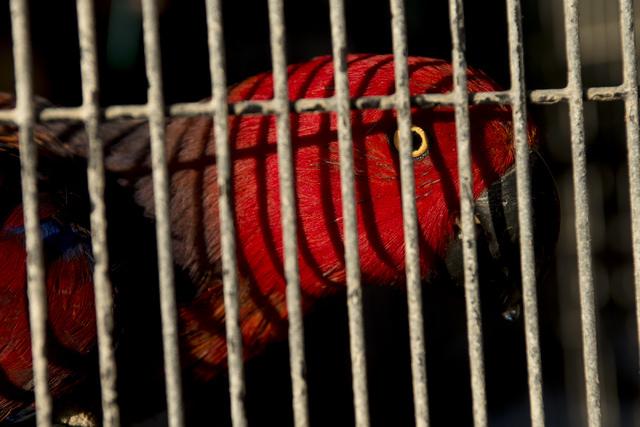 A bird peeks through a fence at Roos-N-More in Moapa, Nev., on Thursday, June 2, 2016. Bridget Bennett/Las Vegas Review-Journal Follow @bridgetkbennett