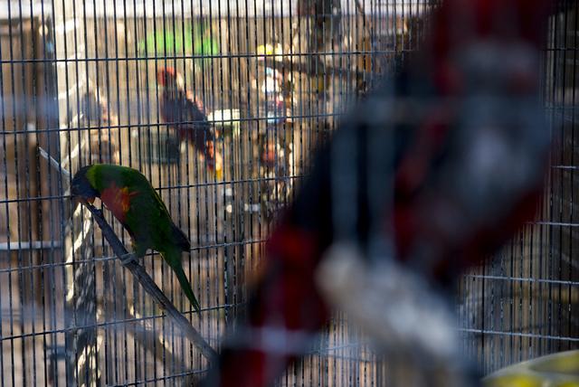 Rocket the Lorikeet rests in it cage with other birds at Roos-N-More in Moapa, Nev., on Thursday, June 2, 2016. Bridget Bennett/Las Vegas Review-Journal Follow @bridgetkbennett