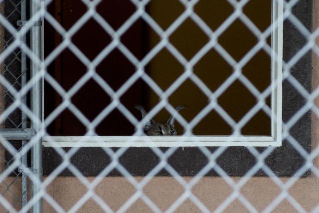 Nefarious the caracal cat peeks though a window of its enclosure at Roos-N-More in Moapa, Nev., on Thursday, June 2, 2016. Bridget Bennett/Las Vegas Review-Journal Follow @bridgetkbennett