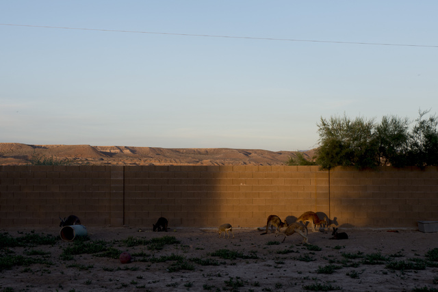 Maras, kangaroos and other animals roam together during sunset at Roos-N-More in Moapa, Nev., on Thursday, June 2, 2016. Bridget Bennett/Las Vegas Review-Journal Follow @bridgetkbennett