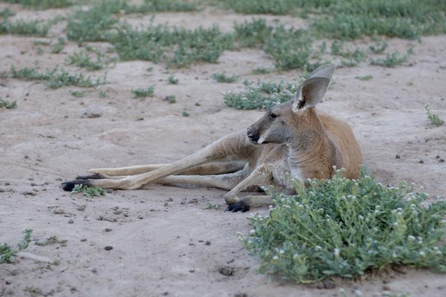 A kangaroo relaxes in the dirt at Roos-N-More in Moapa, Nev., on Thursday, June 2, 2016. Bridget Bennett/Las Vegas Review-Journal Follow @bridgetkbennett