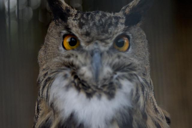Hedwig the Eurasian eagle owl perches in an enclosure at Roos-N-More in Moapa, Nev., on Thursday, June 2, 2016. Bridget Bennett/Las Vegas Review-Journal Follow @bridgetkbennett