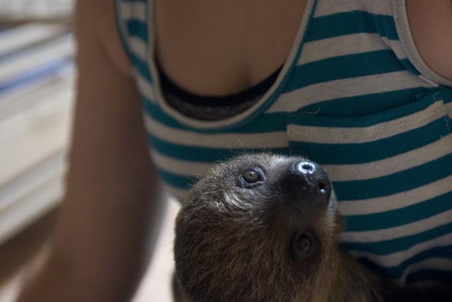 Senior zookeeper Casey Fox prepares to feed a baby sloth its breakfast at Roos-N-More in Moapa, Nev., on Thursday, June 2, 2016. Bridget Bennett/Las Vegas Review-Journal Follow @bridgetkbennett