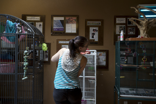 Senior zookeeper Casey Fox puts a bird back into its cage after letting it exercise at Roos-N-More in Moapa, Nev., on Thursday, June 2, 2016. Bridget Bennett/Las Vegas Review-Journal Follow @bridg ...