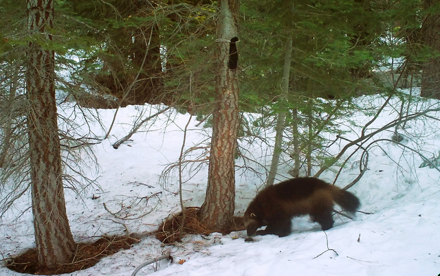 This May photo from a remote camera set by biologist Chris Stermer, shows a wolverine in the Tahoe National Forest near Truckee, Calif. Biologists believe this wolverine is the same 2008 one that  ...