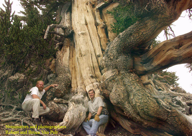 forest aficionados search tall and wide for nevada�s