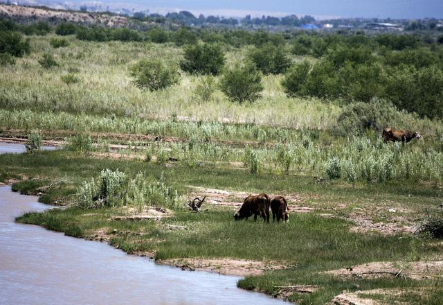 Cattle belonging to the Bundy Ranch in Bunkerville, Nev., is seen near the Virgin River on Thursday, May 19, 2016. (Jeff Scheid/Las Vegas Review-Journal) Follow @jlscheid